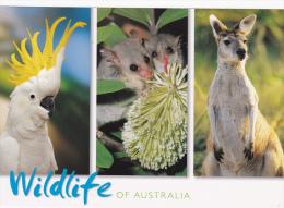 M] Carte Postale Postcard Australie Australia Kangourou Kangouroo Perroquet Parrot Lémurien Lemurian Wildlife - Australie