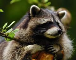 New Postcard, Postkarte, Carte Postale, Animal, Tier, Animale, Raccoon, Tree, Bough - Other