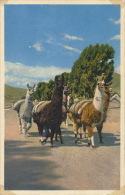 PEROU - PERU - PUNO  - Grupo De Llamas - Peru