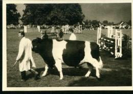 Privat Photo Pic. Horse Show Race Bull Show Cow Alton Hampshire 1960 Rare (1) - Sports