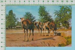 Dromadaire ( Jardin Zoologique De Granby P. Quebec  Canada )cpm Post Card Carte Postale 2 Scans - Animaux & Faune