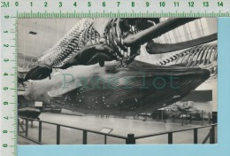 Model Of Blue Whale ( 1964 Real Photo  British Museum ) Cpm Post Card Carte Postale 2 Scans - Poissons Et Crustacés