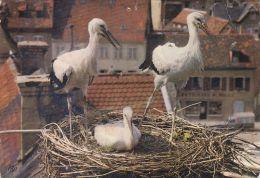 Cp , OISEAUX , Cigognes En Alsace - Vögel