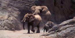 (375) Elephant - - Elephants