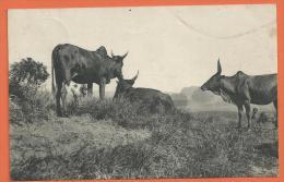 FEL1016, Madagascar, Boeufs Au Pâturage, Circulée 1928 - Madagascar