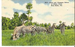 Advertising Ticket Post Card Grant And Chapman Zebras At Africa, U. S. A.  Boca Raton, Fl;orida Adult $1.75 - Advertising