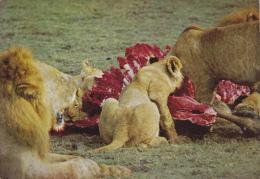 CPSM LIONS DEVORANT LEUR PROIE GORONGOSA MOZAMBIQUE - Lions
