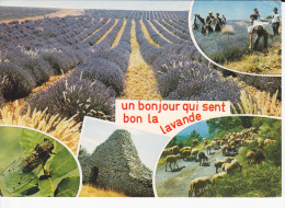 UN BONJOUR QUI SENT BON LA LAVANDE, Cueillette De La Lavande Dans Le Champ, Ouvriers, Troupeau De Moutons, Cigale - Cultures