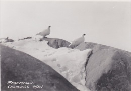 Churchill, Manitoba - Ptarmigan Birds, Older Real Photo - Churchill