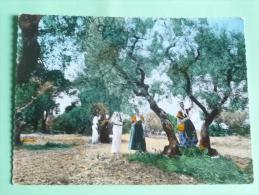 En Provence, La Cueillette Des Olives - Cultures