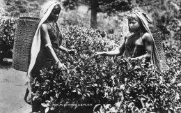 -CPSM P.F.  : TEA PLUCKING, CEYLON - Filles Ramassant Le Thé - 828 - Pakistan