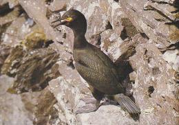 CP Suisse Sempach - Oiseau - CORMORAN HUPPE Bird - KORMORAN Vogel - MARANGONE Uccello Ave - 181 - Oiseaux