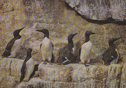 Carte Postale CP / Sempach - Oiseau - GUILLEMOT DE TROIL  Bird Postcard - TROTTELLUMME Vogel - 183 - Birds