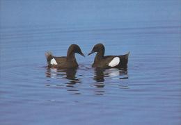 CP Suisse Sempach - Oiseau - GUILLEMOT A MIROIR Bird - GRYLLTEISTE Vogel - URIA NERA - 184 - Oiseaux