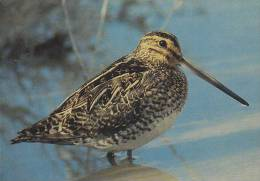 Carte Postale CP Oiseau - BECASSINE DES MARAIS / Sempach - COMMON SNIPE Bird Postcard - BEKASSINE Vogel - 186 - Pájaros