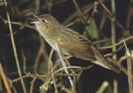 Carte Postale CP - Oiseau -  LOCUSTELLE TACHETEE - GRASSHOPPER WARBLER Bird Postcard - Vogel / Suisse Sempach - 193