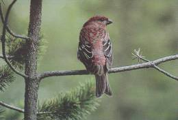 Carte Postale CP Oiseau - DURBEC DES SAPINS / Sempach - PINE GROSBEAK Bird Postcard - HAKENGIMPEL Vogel - 196 - Vögel