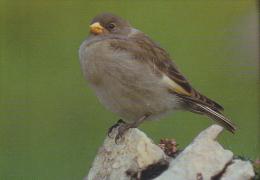 Carte Postale CP - Oiseau - NIVEROLLE - SNOW FINCH Bird Postcard -  SCHNEEFINK Vogel / Suisse Sempach - 198 - Oiseaux