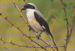 Carte Postale CP - Oiseau - PIE GRIECHE A POITRINE ROSE - LESSER GREY SHRIKE Bird Postcard - Vogel / Suisse Sempach 199 - Vögel