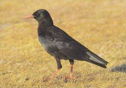 Carte Postale CP Oiseau - CRAVE A BEC ROUGE / Sempach - CHOUGH Bird Postcard - ALPENKRÄHE Vogel - 200 - Vögel