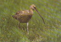 Carte Postale CP Oiseau - COURLIS CENDRE / Sempach - CURLEW Bird Postcard - GROßER BRACHVOGEL Vogel - 201 - Oiseaux
