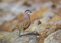 Carte Postale CP Oiseau - PLUVIER GUIGNARD / Sempach - DOTTEREL Bird Postcard - MORNELL REGENPFEIFER Vogel - 203 - Oiseaux