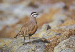 Carte Postale CP Oiseau - PLUVIER GUIGNARD / Sempach - DOTTEREL Bird Postcard - MORNELL REGENPFEIFER Vogel - 203 - Vögel