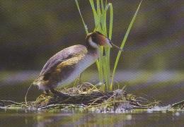CP Suisse Sempach - Oiseau - GREBE HUPPE - GREAT CRESTED GREBE Bird - HAUBENTAUCHER Vogel - SVASSO MAGGIORE - 205 - Pájaros