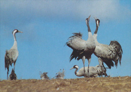 CP Suisse Sempach - Oiseau - GRUE CENDREE - CRANE Bird - KRANICH Vogel - GRU Uccello Uccelli Ave Aves - 208 - Pájaros