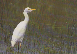 CP Suisse Sempach - Oiseau - HERON GARDE-BOEUF Bird - KUH REIHER Vogel - AIRONE GUARDABUOI Uccello - 209 - Vögel