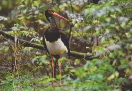 Carte Postale CP Suisse / Sempach - Oiseau - CIGOGNE NOIRE - BLACK STORK Bird Postcard - STORCH Vogel - 212 - Vögel