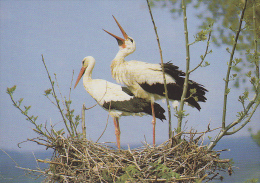 Carte Postale CP / Sempach - Oiseau - CIGOGNE BLANCHE - WHITE STORK Bird Postcard - STORCH Vogel - 213 - Vögel