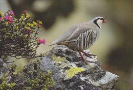 Carte Postale CP / Sempach - Oiseau - PERDRIX BARTAVELLE -  ROCK PARTRIDGE Bird Postcard - STEINHUHN Vogel - 213 - Oiseaux