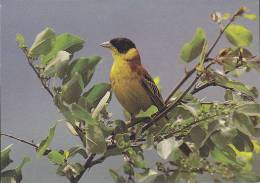 Carte Postale CP Oiseau - BRUANT MELANOCEPHALE  / Sempach - BUNTING Bird Postcard - KAPPENAMMER Vogel - 218 - Oiseaux