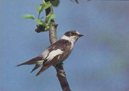Carte Postale CP Oiseau - GOBEMOUCHE A COLLIER / Sempach - COLLARED FLYCATCHER Bird Postcard - HALSBANDSCHNÄPPER - 220 - Vögel