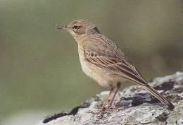 Carte Postale CP Oiseau - PIPIT ROUSSELINE / Sempach - TAWNY PIPIT Bird Postcard - BRACHPIEPER Vogel - 223 - Oiseaux