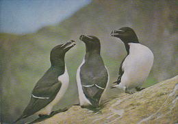 Carte Postale CP / Sempach - Oiseau - PINGOUIN TORDA - RAZORBILL Bird Postcard - TORDALK Vogel - 225 - Vogels