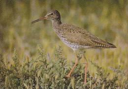 Carte Postale CP Oiseau - CHEVALIER GAMBETTE / Sempach - COMMON REDSHANK Bird Postcard - ROTSCHENKEL Vogel - 226 - Oiseaux