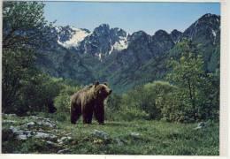 ABRUZZO PITTORESCO - Orso , Bär, Bear, Ours - Italy