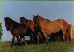 Voyo HORSE ISLANDER JUNGHENGSTE 2003  Irene Hohe MINT Nr 31 - Chevaux
