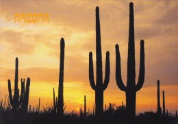 Arizona Tempe Saguaro Cacti Silhouetted By An Arizona Sunset - Tempe