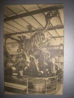 BRUXELLES - MUSEE DE L'HISTOIRE NATURELLE - IGUANODON - BXL13 - Museums
