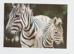 78 - ZEBRES - Château Et Parc De THOIRY - Parc Zoologique - - Zebras