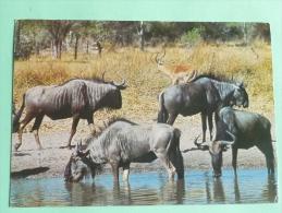 AFRIQUE DU SUD - Gnous - Afrique Du Sud