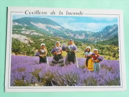 La Cueillette De La Lavande - Cultures