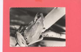 ANIMAUX :  GRENOUILLE VERTE    ( N°193 CP Publicité) - Sonstige