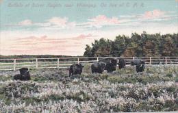 Buffalo , Silver Heights , WINNIPEG , Manitoba , Canada , PU-1907 - Winnipeg