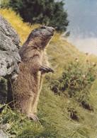 Cp , ANIMAUX , La Marmotte Aux Aguets - Tierwelt & Fauna