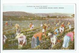 Grasse - Cueillette Des Fleurs De Jasmin De La Parfumerie Bruno Court - Grasse