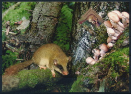 Belarus Weißrussland MC (1) Maximum Card Mushrooms Dryomys Moss Pilze Baumschläfer Moos °PK0013 - Pilze